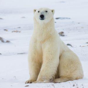 Image d'un ours polaire